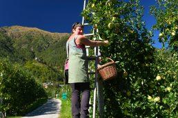 Raccolta delle mele in Val di Sole